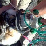 Gibson with pet oxygen mask