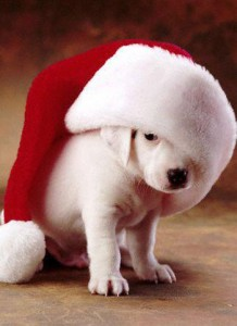 Christmas Puppies.Just Say No To Puppies At Christmas Cold Nose College