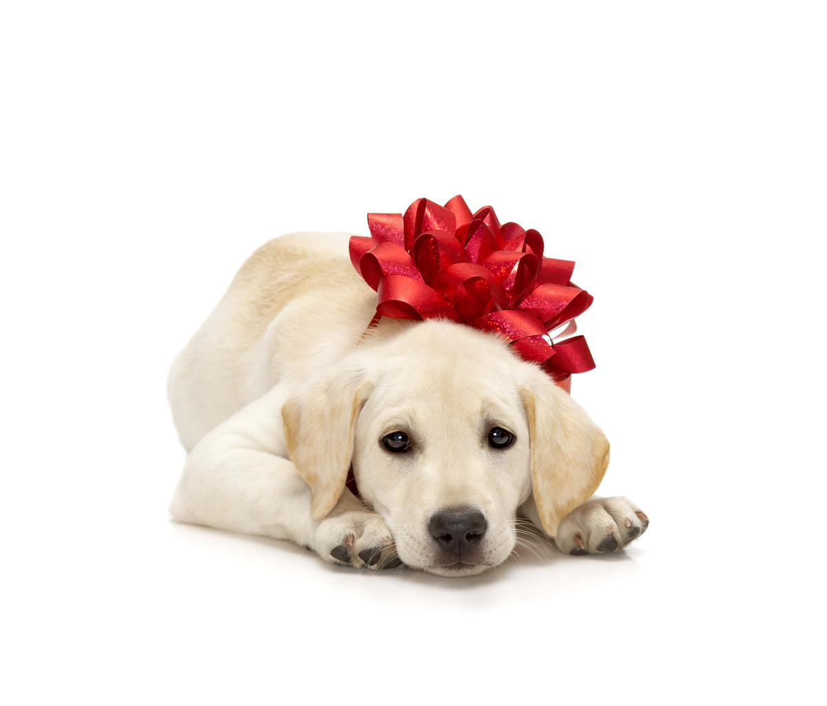 Please….No Dogs or Puppies as Gifts - Cold Nose College