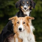 Separation Anxiety and a Second Dog – Will it help?