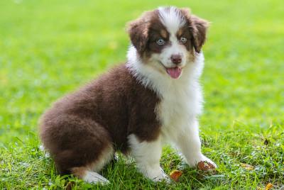Aussie puppy sitting on grass