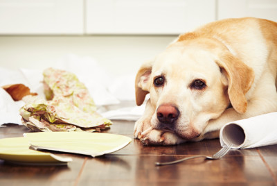 Anxious dog laying in kitchen with destruction around her