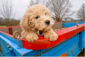 Goldendoodle puppy sitting in a wagon
