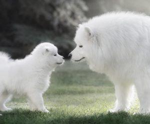 Samoyed mom and her puppy