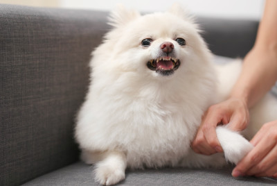 white pomeranian dog growling when touched