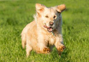 Golden retriever running toward camera