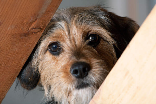 Small scared dog peeking