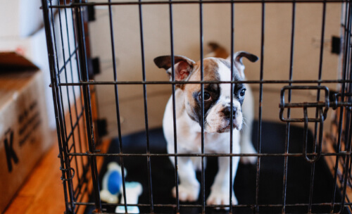 French Bulldog Puppy in a crate