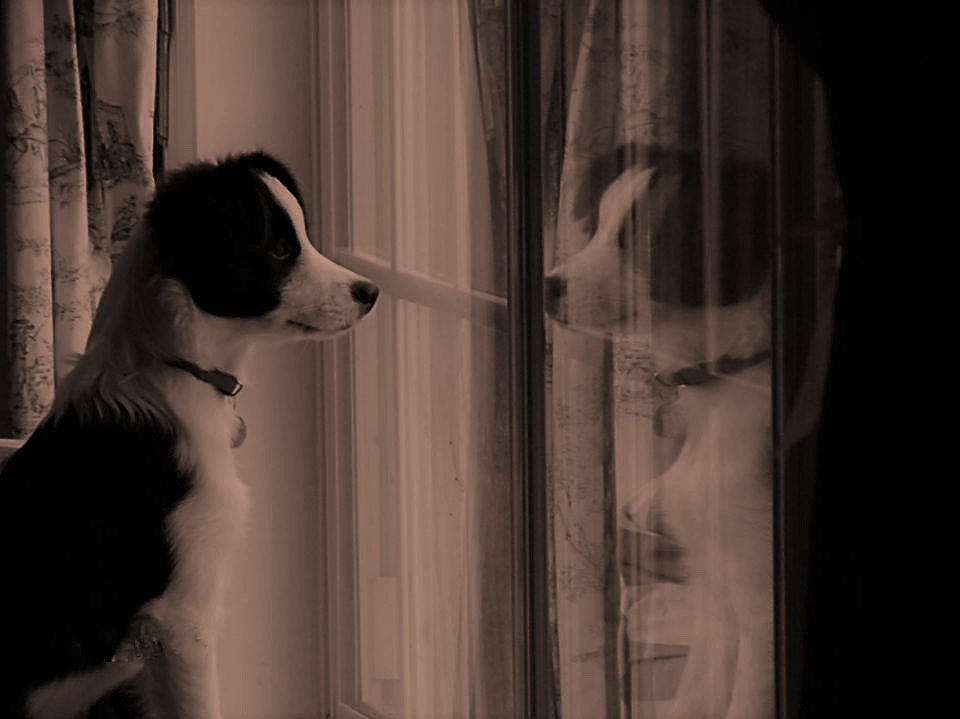 Border Collie staring out the window